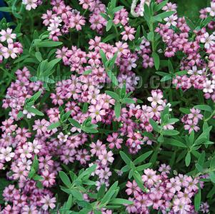 Gypsophila repens 'Filou Rose'