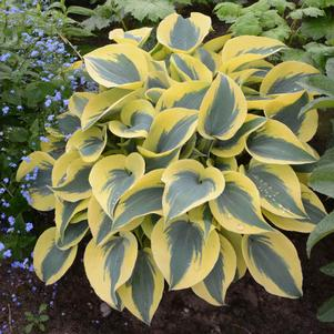 Hosta 'Shadowland® Autumn Frost'