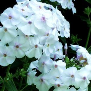 Phlox 'Earlibeauty® Daughter of Pearl'