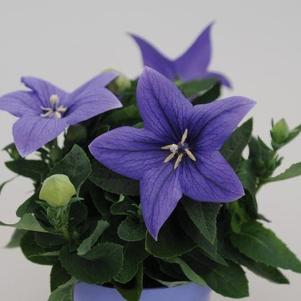 Platycodon 'Pop Star™ Blue'