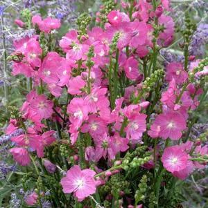 Sidalcea 'Party Girl'