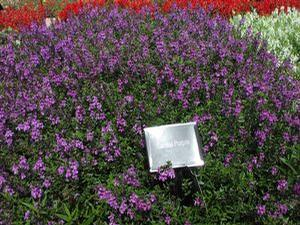Angelonia 'Serena Purple®'