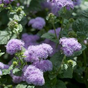 Ageratum houstonianum 'Blue Horizon'