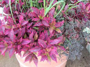 Alternanthera 'Brazilian Red Hots'