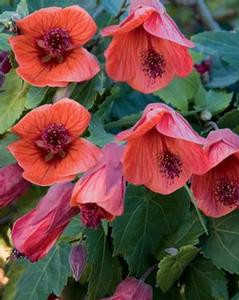 Abutilon 'Fairy Coral Red'