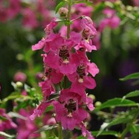 Angelonia 'Archangel™ Raspberry'