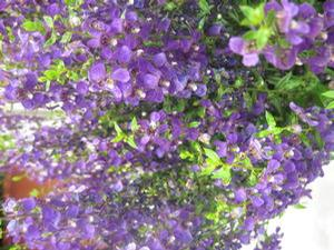 Angelonia 'Serenita™ Purple'