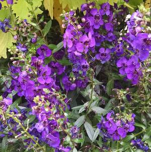 Angelonia 'Archangel Dark Purple'