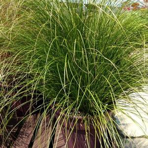 Carex comans 'ColorGrass™ Phoenix Green'