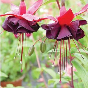 Fuchsia 'Giant Blacky'