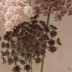 Ammi majus 'Dara Dark Red Shades'