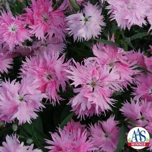 Dianthus interspecific 'Supra Pink F1'