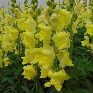 Snapdragon 'Rocket Golden'