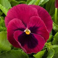 Pansy 'Grandio Rose Blotch'