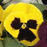 Pansy 'Grandio Yellow Blotch'