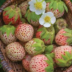 Strawberry, Pine 'Wonderful'