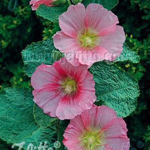 Alcea rosea 'Spotlight™ Radiant Rose'