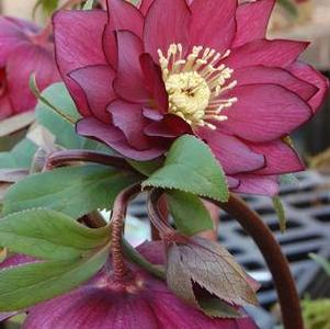 Helleborus 'Winter Jewels Red Sapphire'