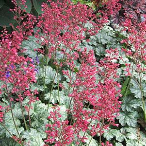 Heuchera 'Paris'