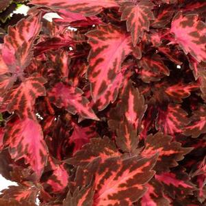 Coleus 'Stained Glassworks™ Royalty'