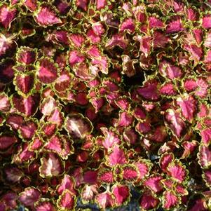 Coleus 'Great Falls Angel'