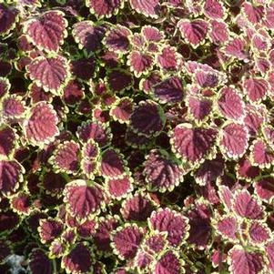 Coleus 'Great Falls Niagara'
