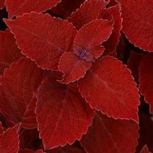 Coleus 'Ruby Slipper'