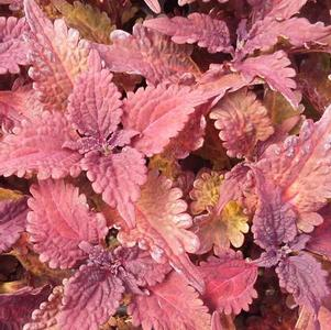 Coleus 'Stained Glassworks™ Copper'