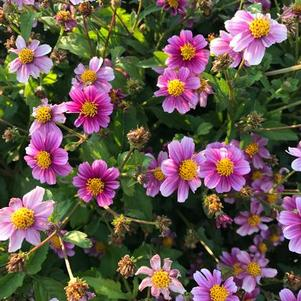 Bidens 'Pretty in Pink™'