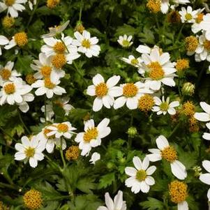 Bidens 'White Delight™'