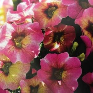Calibrachoa 'Chameleon® Lemon Berry'