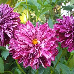 Dahlia 'Painter™ Berry Impressions'