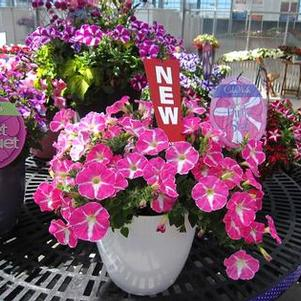 Petunia 'Colorworks™ Pink Star'