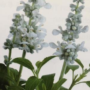 Salvia farinacea 'Majestic™ White'