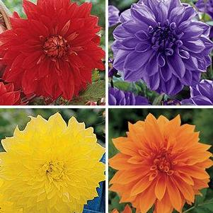 Dahlia 'Dinnerplate Mix'