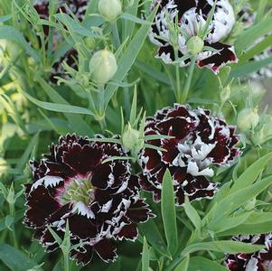 Dianthus 'Black and White'