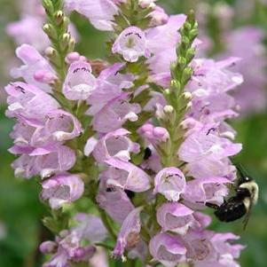 Physostegia virginiana 'Pink Manners'