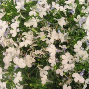 Lobelia 'Early Springs™ White'