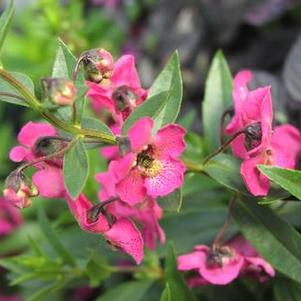 Angelonia 'Archangel Dark Rose'