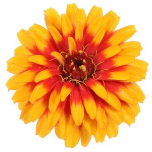 Zinnia 'Sweet Tooth Candy Corn'